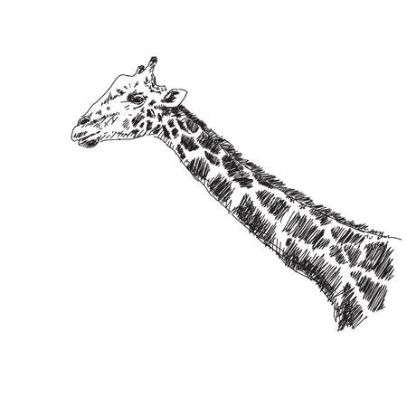 free image: Sketch of giraffe Vector