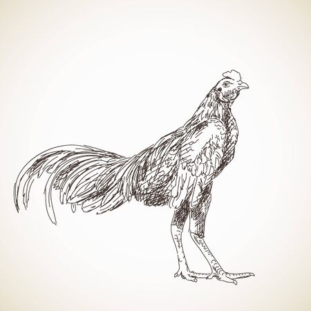Sketch of asian rooster, drawn illustration