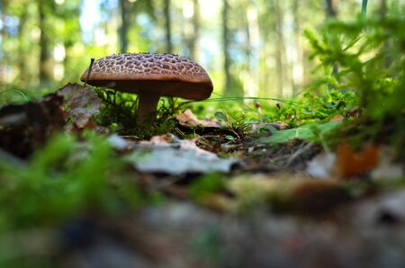 Wild mushroom in forest on grass close-up photo with very short focus 免版税图像
