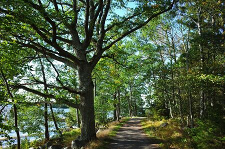 Path with green sprawling tree in forest and sunshine in september in Sweden, Europe. Banco de Imagens