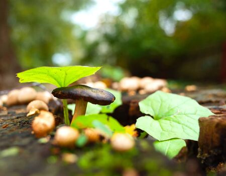 Wild tiny mushroom and green leaves on stump in forest close-up photo with very short focus Banco de Imagens - 127345282