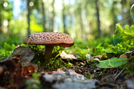 Wild mushroom in forest on grass close-up photo with very short focus 版權商用圖片