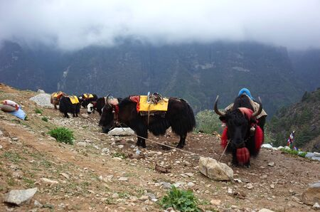 Resting yaks caravan in Himalayas mountains, Sagarmatha national park, Khumbu valley, Nepal