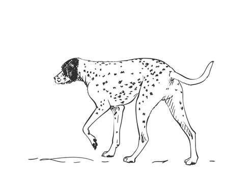 Dalmatian dog vector drawing. Walking side view sketch. Hand drawn pet illustration isolated black and white
