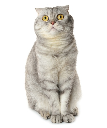 Gray cat isolated on white background Stock Photo - 17846123