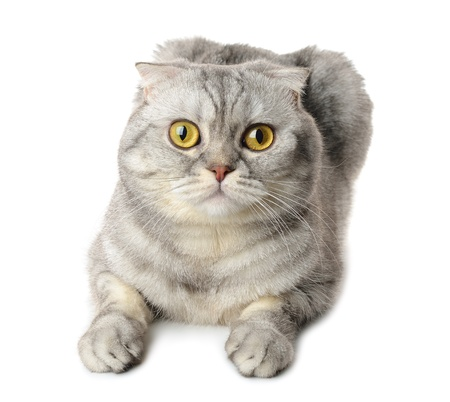 Gray cat isolated on white background Stock Photo - 17846125