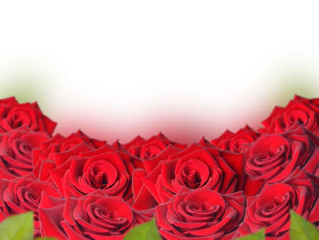 Red roses on a white background Stock Photo - 18288479