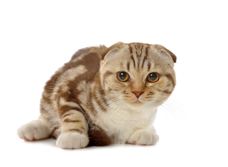 opinions: Marble brown Scottish fold kitten isolated on white background Stock Photo