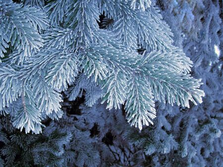 spruce tree: Blue frost tree, super frost space needle. Snowing blue tree branches with frosting needles. Winter snowflakes on the spruce tree. Time freeze, winter snow, deep freeze
