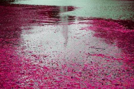 Park Sofiyivka (Sofievka), Uman, Cherkasy region, Ukraine. Lilac crimson leaves float on the water surface, fontain reflection