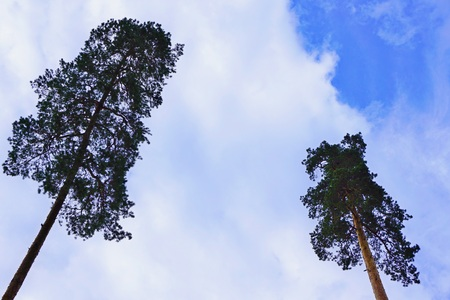Lonely (alone) isolated lush two trees top with evergreen needles on a background of bright blue sky with white clouds