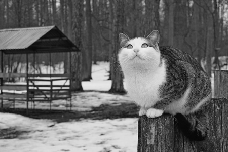 White grey cat sits on stump and looks to the up. Snow spring forest background. Banco de Imagens