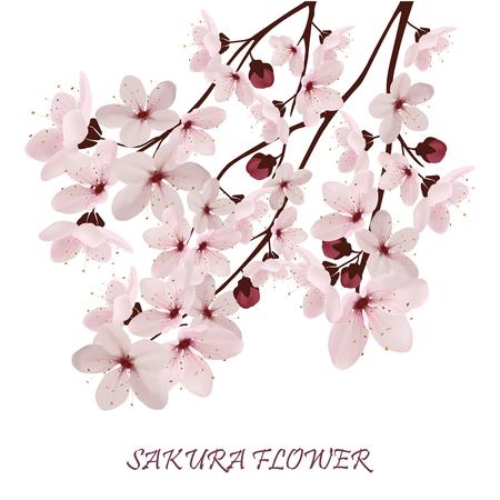 Sakura flowers vector illustration.