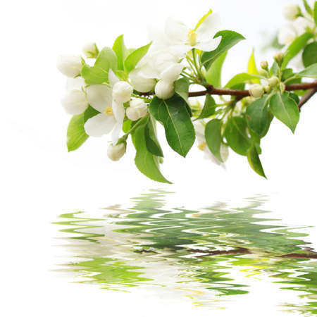 Branch of a blossoming apple-tree is reflected in water