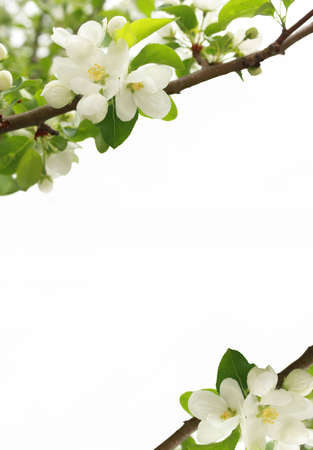 Blossoming branches of an apple-tree on a white background