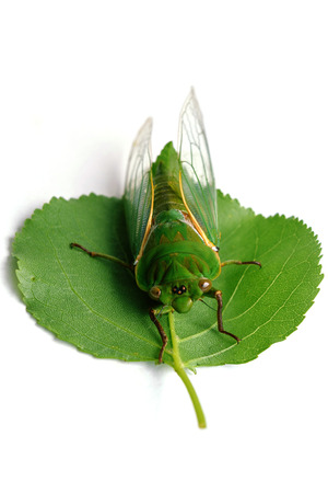 cigarra: close up of the cicada Isolated on white background