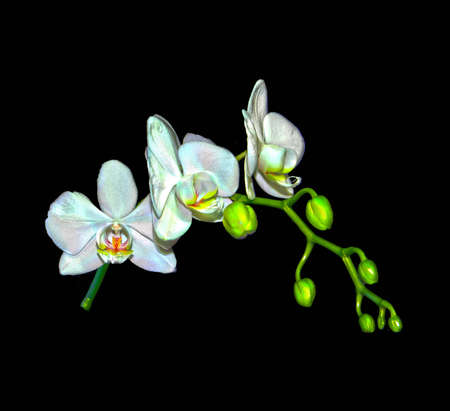 High dynamic range photo of a Phalaenopsis Orchid branch Stock Photo