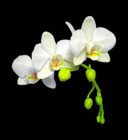 yellow orchid: High dynamic range photo of a Phalaenopsis Orchid branch Stock Photo