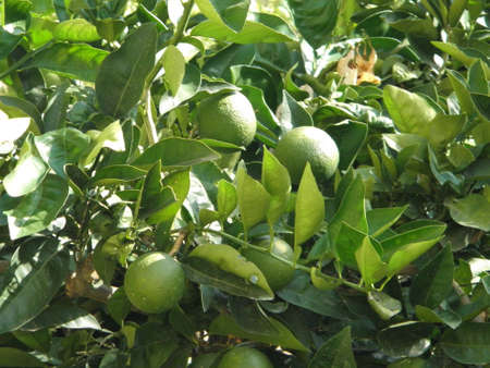 An orange tree with green leaves and unripe green fruit  photo