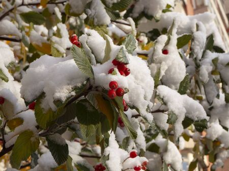 Tree branches with red berries and with yellow and green leaves covered with white clean snow. Rowan or bird cherry berries under snow on sunny day. Archivio Fotografico