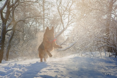 show dog: Purebred German Shepherd playing in the snow in winter forest illuminated by the setting sun backlighting Stock Photo