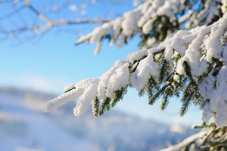 covered in snow: Snow covered tree branches. Blue sky, mist, mountains in the background blurred. Winter frosty sunny morning or a day in the mountains. Stock Photo