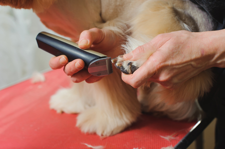 groomer: Grooming Purebred American Cocker Spaniel dog. Closeup of trimming paw by Woman groomer. The dog is standing on a red table.