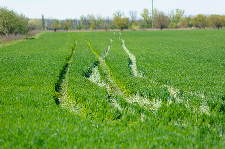 winter wheat: Traces of tractor on a winter wheat field in spring