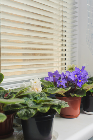 jalousie: African Violet or Saintpaulia on the background of window with jalousie, shutter, houseplants. Stock Photo