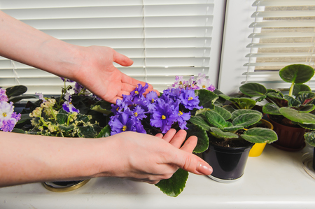 jalousie: African Violet or Saintpaulia on the background of window with jalousie, shutter, houseplants. Female takes care of the flowers