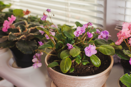 jalousie: African Violet or Saintpaulia on the background of window with jalousie, shutter, houseplants. view from above. Stock Photo
