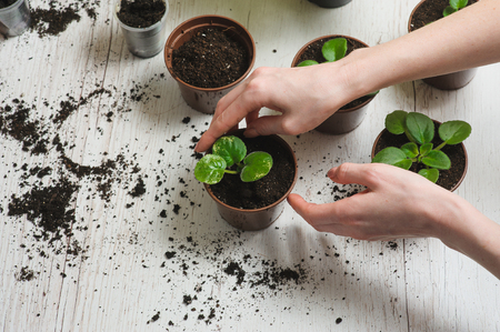 Hands of a young woman planting sprout in the flower pot. 스톡 콘텐츠