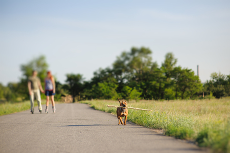 fetching: Nice staffordshire terrier, dog running with big stick. loving couple on roller skates in the background. front view. Stock Photo