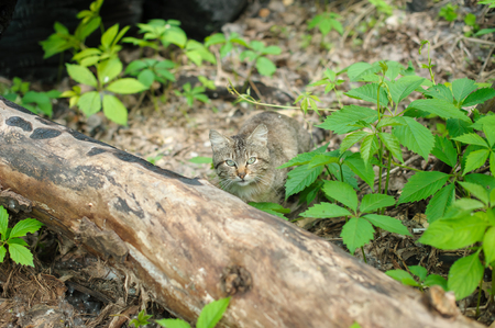 fallen tree: A lone Cat in the woods. fallen tree. Cat looking at the camera.