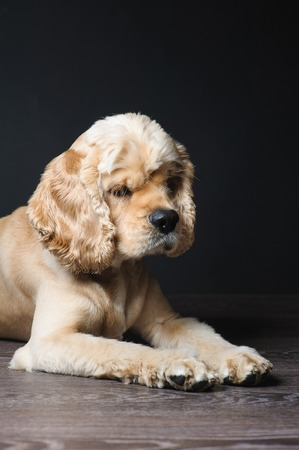 american cocker spaniel: American cocker spaniel lying on dark background. Young purebred Cocker Spaniel. Stock Photo
