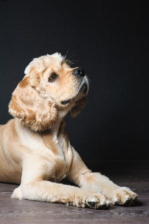 American cocker spaniel lying on dark background. Young purebred Cocker Spaniel. Stock Photo