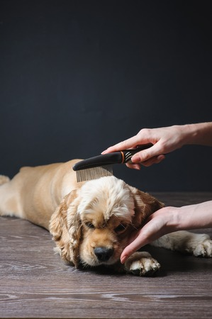 Woman groomer combs Young purebred Cocker Spaniel for a hairstyle in the room.