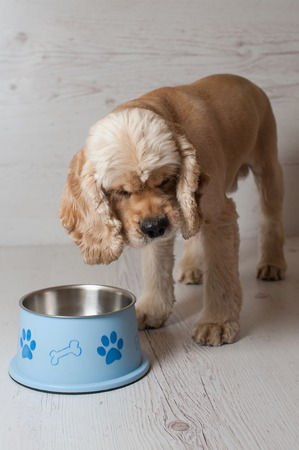 american cocker spaniel: American cocker spaniel eating dog food from his bowl Stock Photo
