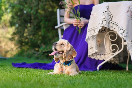 Purebred American Cocker Spaniel lying on a green lawn. Woman in an expensive beautiful purple dress sitting at a garden table on background.
