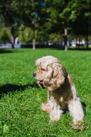 american cocker spaniel: Young purebred American cocker spaniel sitting on green lawn in a park. Dog looks aside.