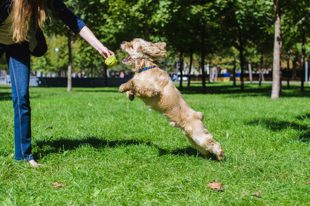 Girl playing with a dog on green lawn in a park. Young purebred American cocker spaniel jumping. Woman training her dog. Stock Photo