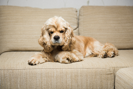 Young American cocker spaniel lying on a beige sofa. Interior living room. Stock Photo