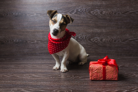 Jack Russell Terrier sitting in front of dark wooden background. Dog in a trendy red bandana. Dog with festive gift box. Stock Photo
