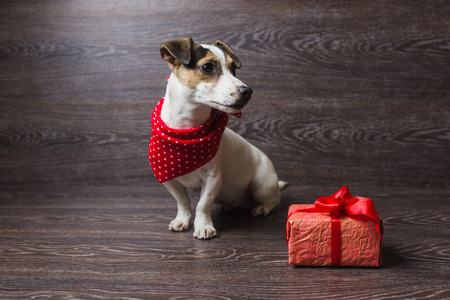 legged: Jack Russell Terrier sitting in front of dark wooden background. Dog in a trendy red bandana. Dog with festive gift box. Stock Photo