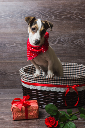 Jack Russell Terrier in brown basket with festive gift box and rose. Dog in a trendy red bandana. Dark wooden background.