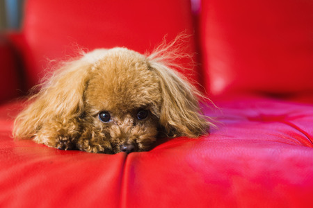 Red toy poodle laying his head on red couch