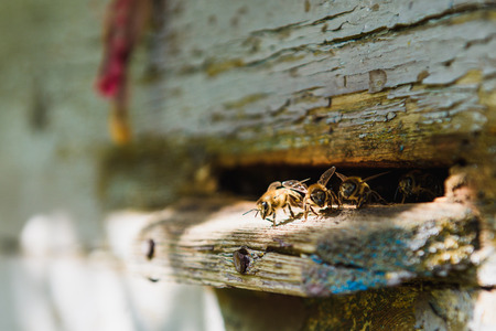 Bees at front hive entrance close up. Bee flying to hive. Hives in an apiary with working bees flying to the landing boards. Stock Photo - 85326975