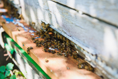 Bees fly into the hive entrance is bringing pollen. Bees at front hive entrance close up. Bee flying to hive. Honey bee drone enter the hive.