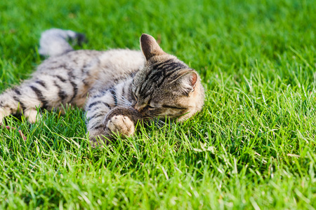 he: Cat playing with a mouse he just caught. Gray cat lying on green grass. Stock Photo