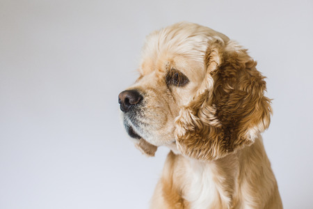 American cocker spaniel looks aside on a white background